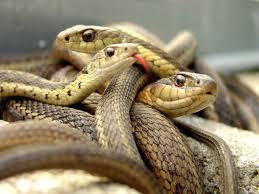 3 con rắn độc