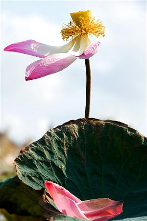 hoa sen trước gió (ảnh Trần Bích)