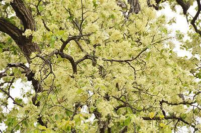 Cây sāla nở hoa