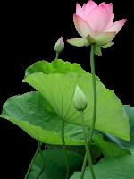 lotus hoa sen