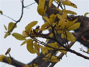 cây sāla