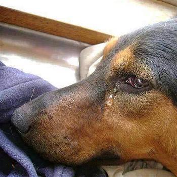 Nước mắt của loài vật trước lúc bị giết hại