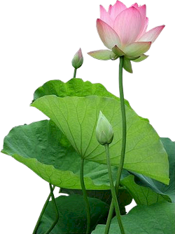 lotus-hoa sen
