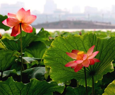 hoa sen nở