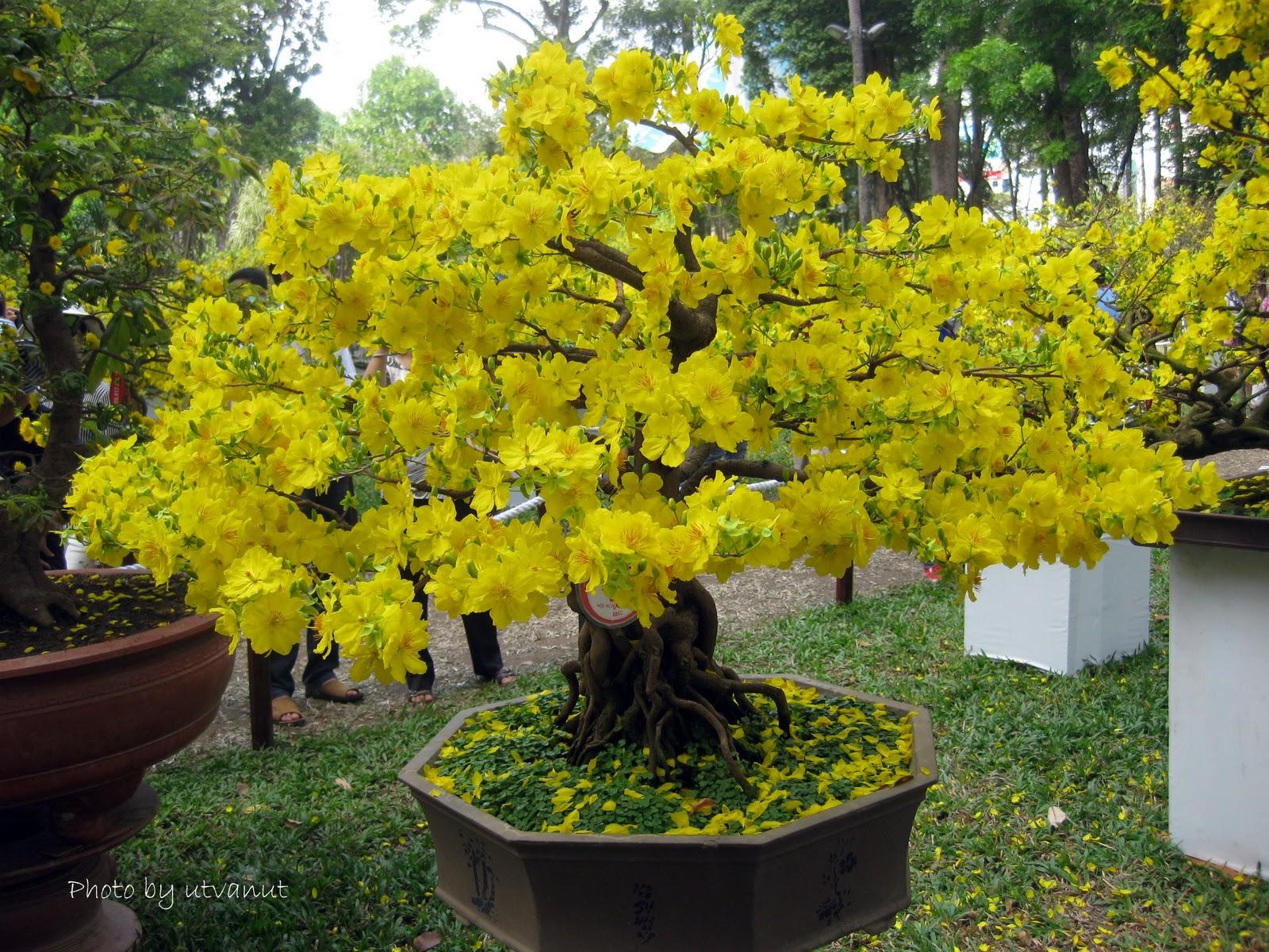 Nghệ Thuật Bonsai Mai Vang Việt Nam