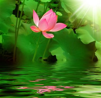hoa_sen_lotus_flower