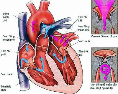 human-heart-cross-section_2