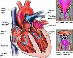 human-heart-cross-section-2