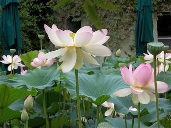 hoa sen 4