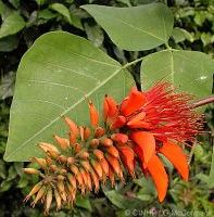 H 2 Hoa và cây mandarava